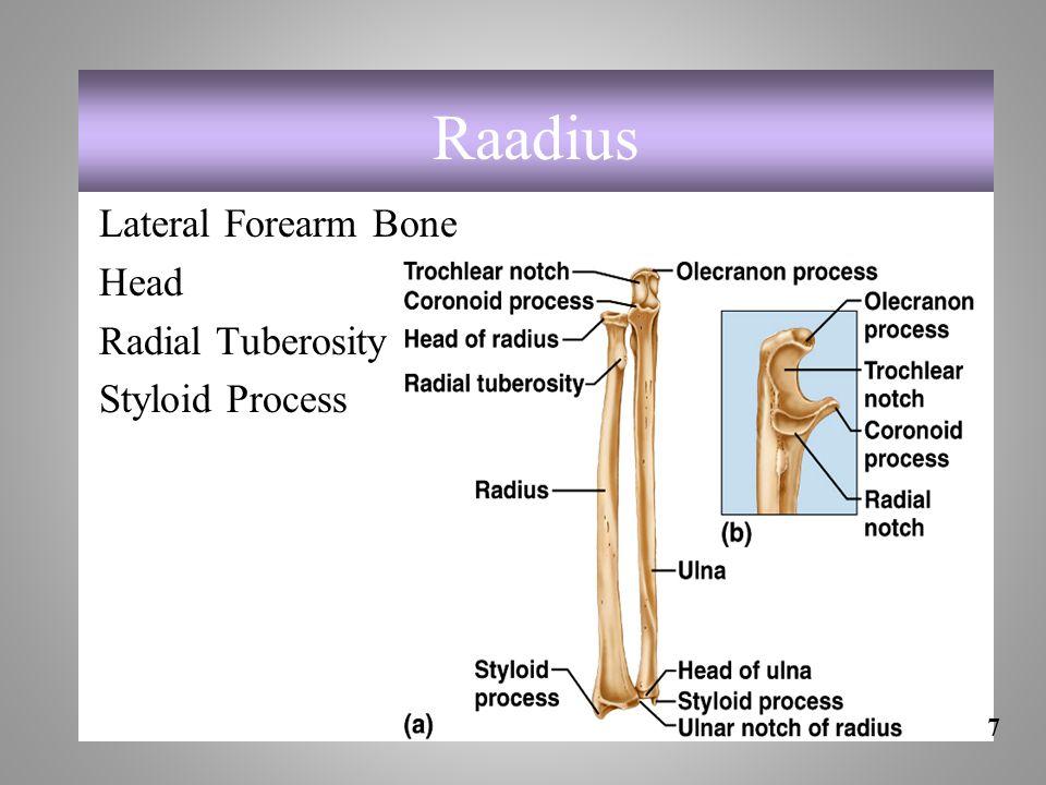 Raadius Lateral Forearm Bone Head Radial Tuberosity Styloid Process 7-47