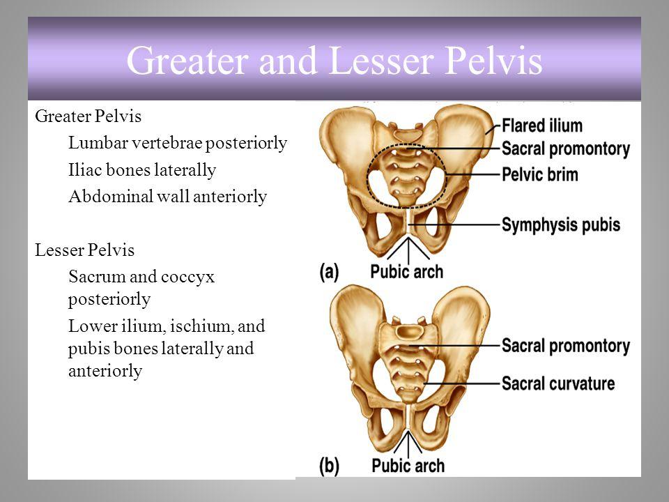 Greater and Lesser Pelvis Greater Pelvis Lumbar vertebrae posteriorly Iliac bones laterally Abdominal wall anteriorly Lesser Pelvis Sacrum and coccyx
