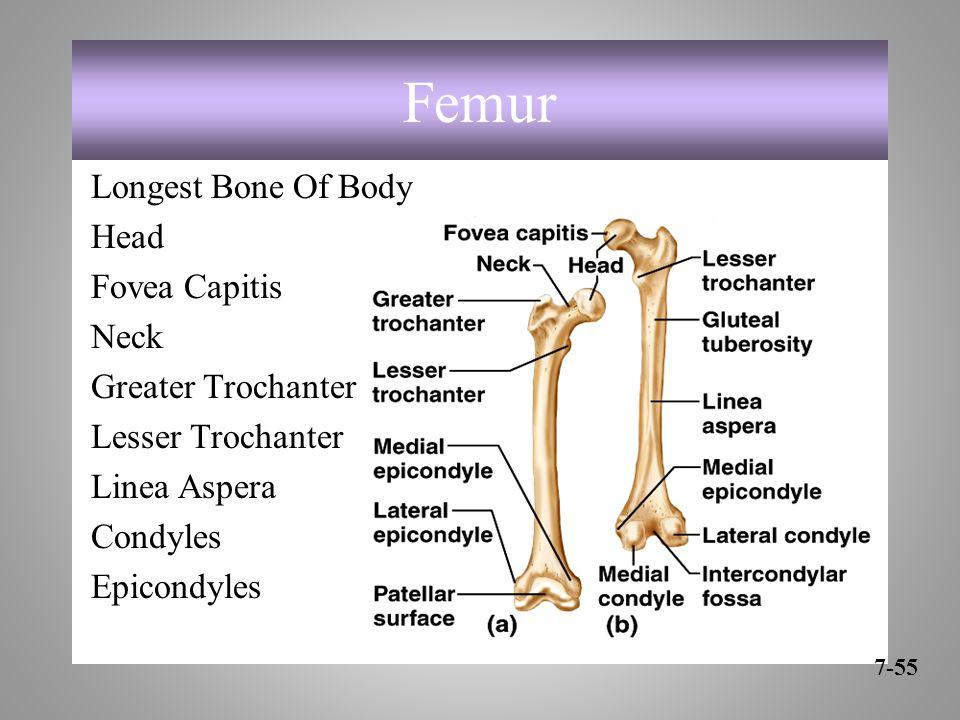 Femur Longest Bone Of Body Head Fovea Capitis Neck Greater Trochanter Lesser Trochanter Linea Aspera Condyles Epicondyles 7-55