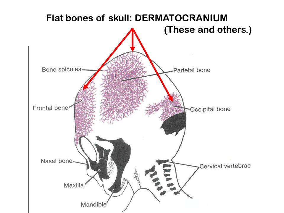 Flat bones of skull: DERMATOCRANIUM (These and others.)