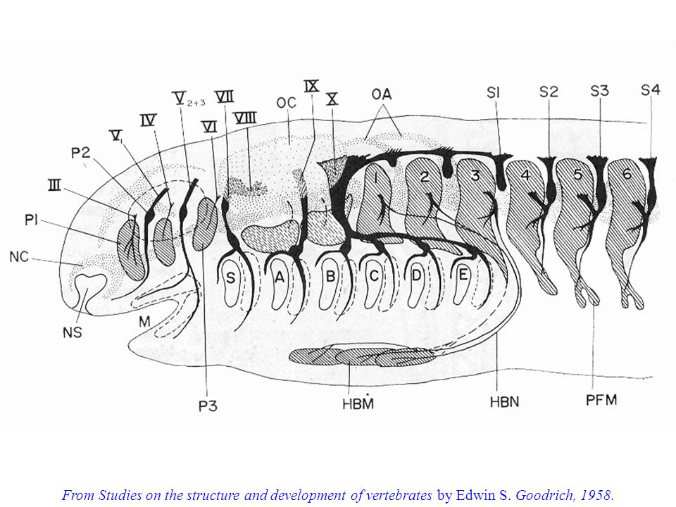 From Studies on the structure and development of vertebrates by Edwin S. Goodrich, 1958.