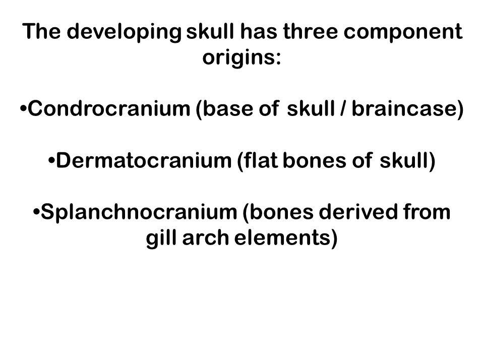 The developing skull has three component origins: Condrocranium (base of skull / braincase) Dermatocranium (flat bones of skull) Splanchnocranium (bon