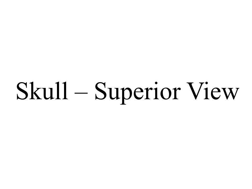 Skull – Superior View