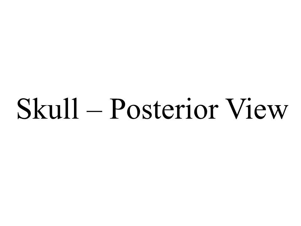 Skull – Posterior View