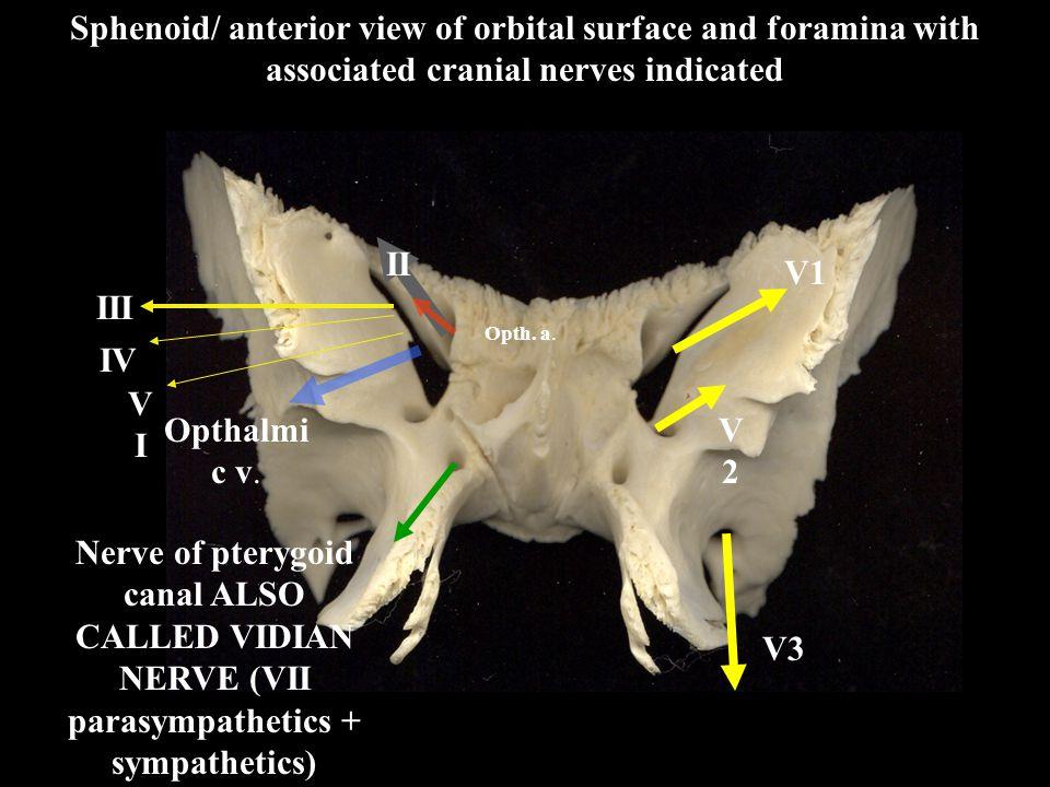 V1 V2V2 Sphenoid/ anterior view of orbital surface and foramina with associated cranial nerves indicated III IV VIVI Opthalmi c v. Opth. a. Nerve of p