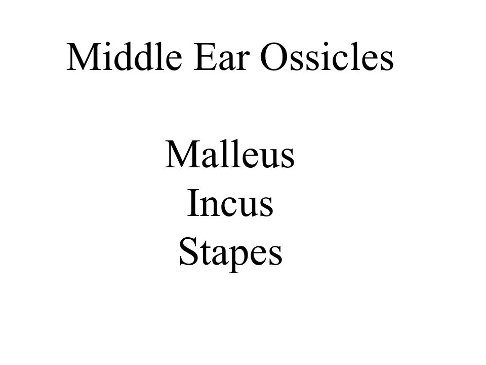 Middle Ear Ossicles Malleus Incus Stapes