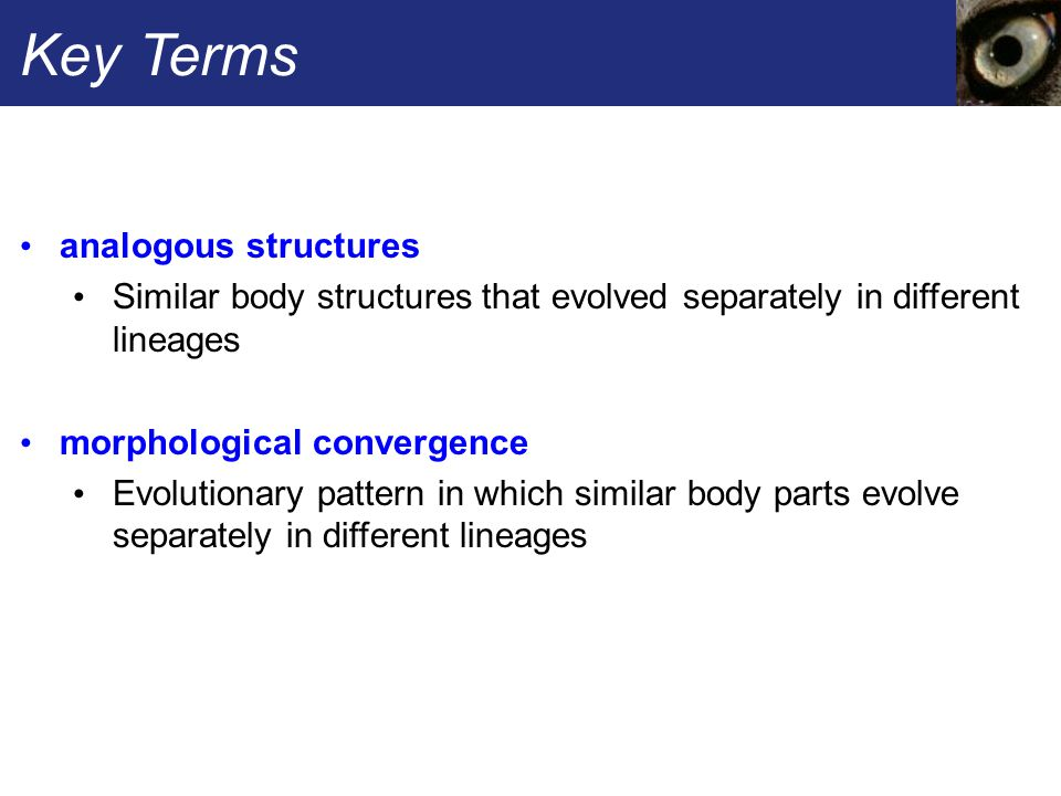 Key Terms analogous structures Similar body structures that evolved separately in different lineages morphological convergence Evolutionary pattern in which similar body parts evolve separately in different lineages