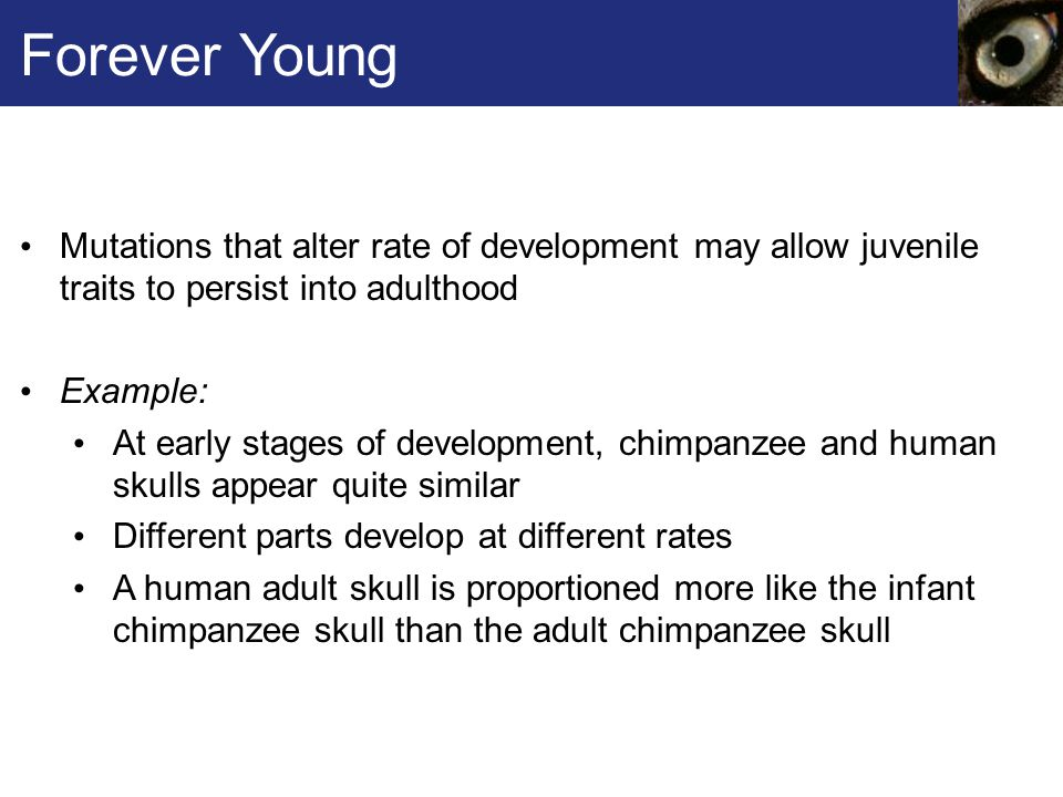 Forever Young Mutations that alter rate of development may allow juvenile traits to persist into adulthood Example: At early stages of development, chimpanzee and human skulls appear quite similar Different parts develop at different rates A human adult skull is proportioned more like the infant chimpanzee skull than the adult chimpanzee skull