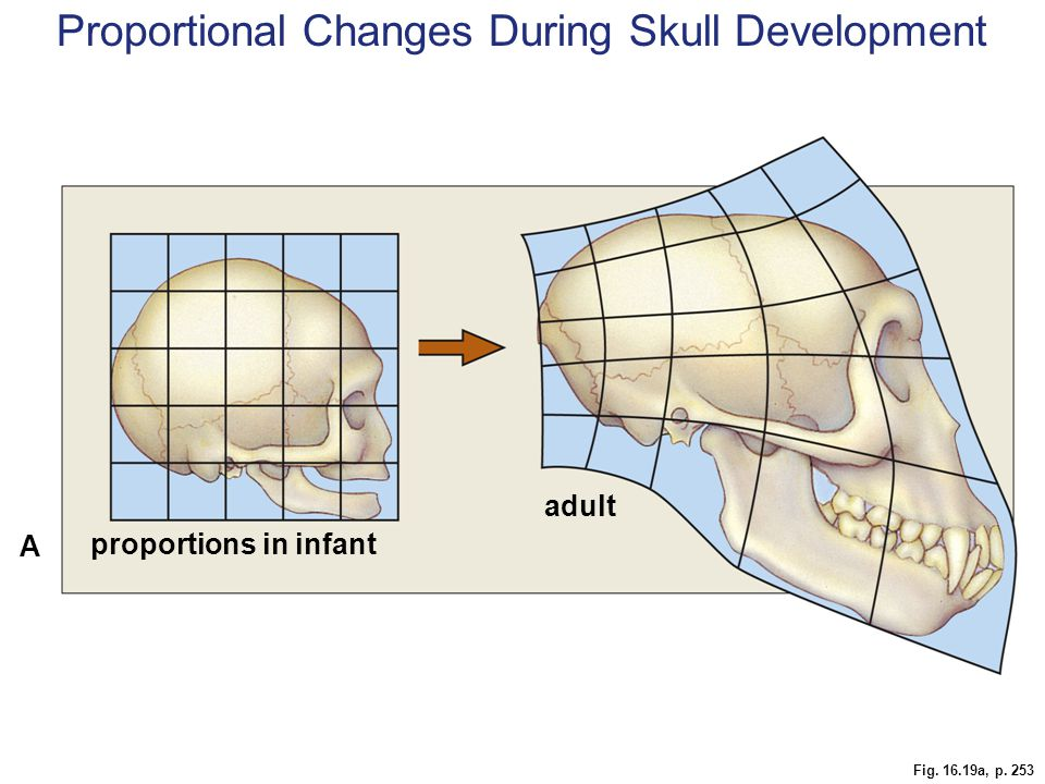 Fig. 16.19a, p. 253 proportions in infant adult A Proportional Changes During Skull Development