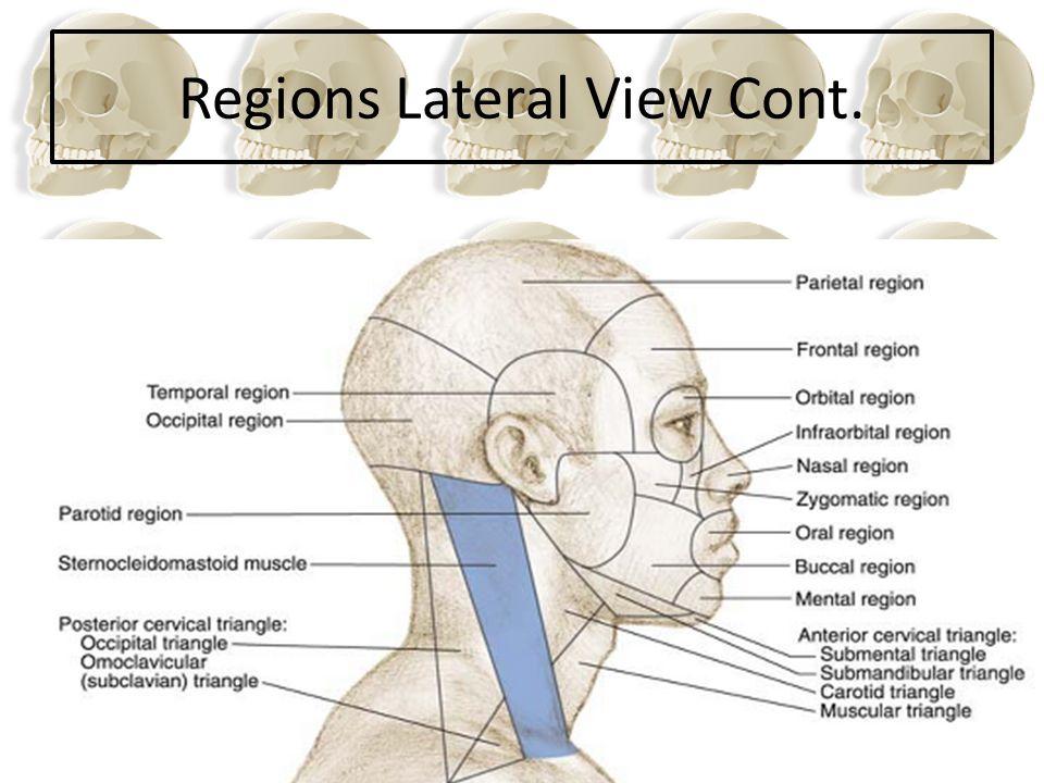 Frontal Parietal 2 Temporal 2 Occipital 1 Sphenoid1 Ethmoid 1 8 bones form the adult's Neurocranium http://www.gwc.maricopa.edu/class/bio201/skull/SkullSlideshow1/index_PP1.htm Glabella Metopic suture