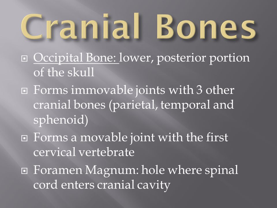  Occipital Bone: lower, posterior portion of the skull  Forms immovable joints with 3 other cranial bones (parietal, temporal and sphenoid)  Forms