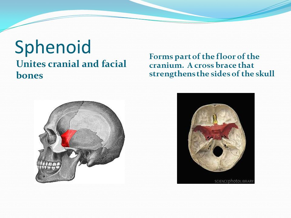 Sphenoid Unites cranial and facial bones Forms part of the floor of the cranium. A cross brace that strengthens the sides of the skull