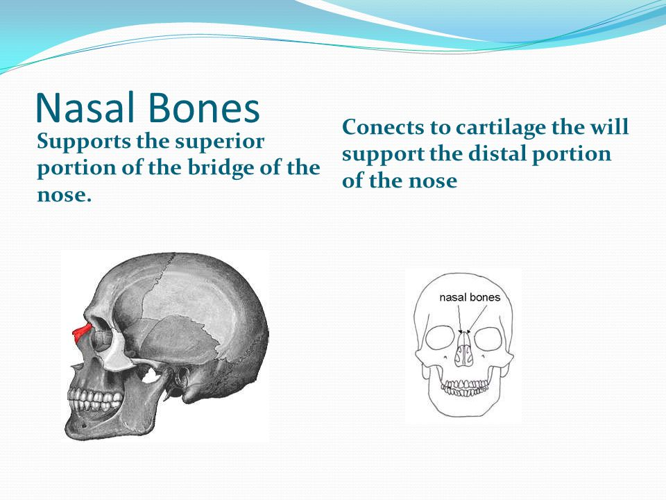 Nasal Bones Supports the superior portion of the bridge of the nose.