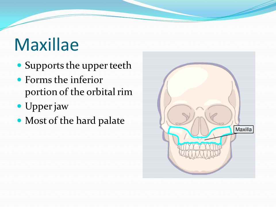 Maxillae Supports the upper teeth Forms the inferior portion of the orbital rim Upper jaw Most of the hard palate
