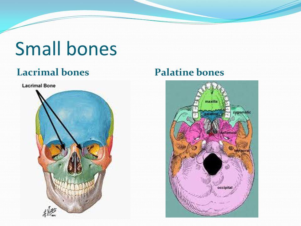 Small bones Lacrimal bones Palatine bones