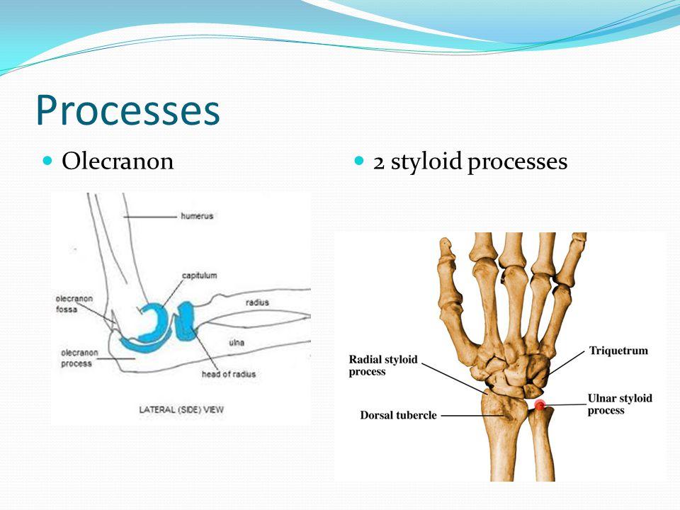 Processes Olecranon 2 styloid processes
