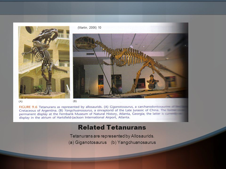 Related Tetanurans Tetanurans are represented by Allosaurids.
