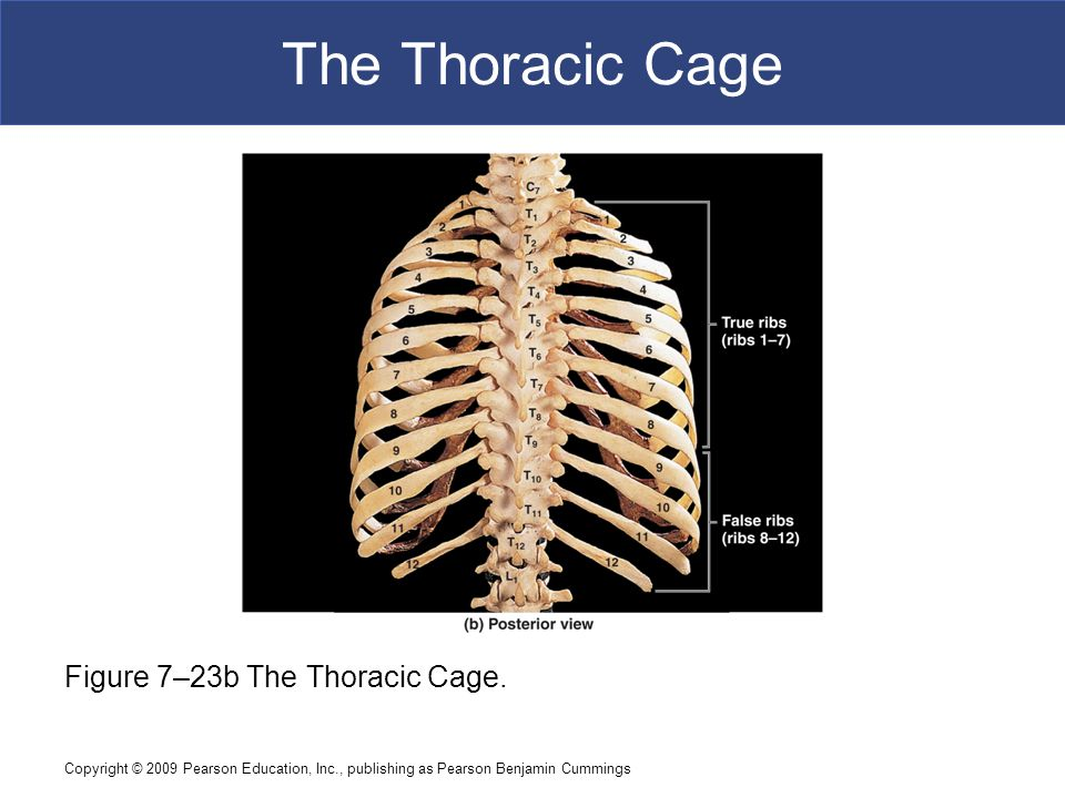 Copyright © 2009 Pearson Education, Inc., publishing as Pearson Benjamin Cummings The Thoracic Cage Figure 7–23b The Thoracic Cage.