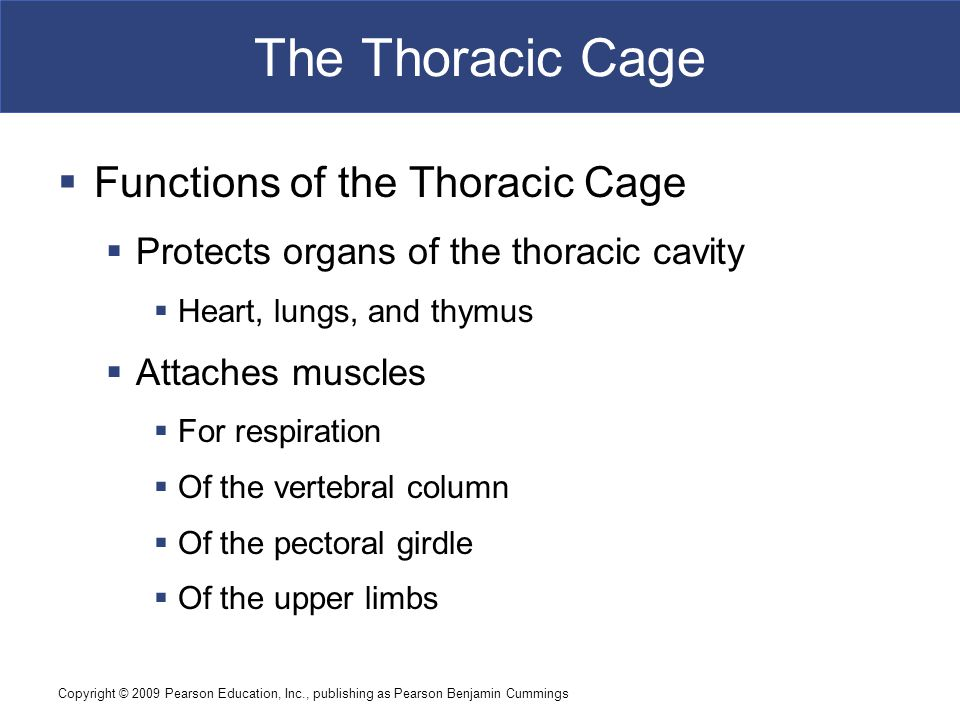 Copyright © 2009 Pearson Education, Inc., publishing as Pearson Benjamin Cummings The Thoracic Cage  Functions of the Thoracic Cage  Protects organs