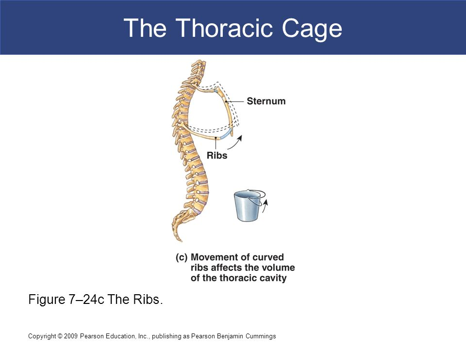 Copyright © 2009 Pearson Education, Inc., publishing as Pearson Benjamin Cummings The Thoracic Cage Figure 7–24c The Ribs.
