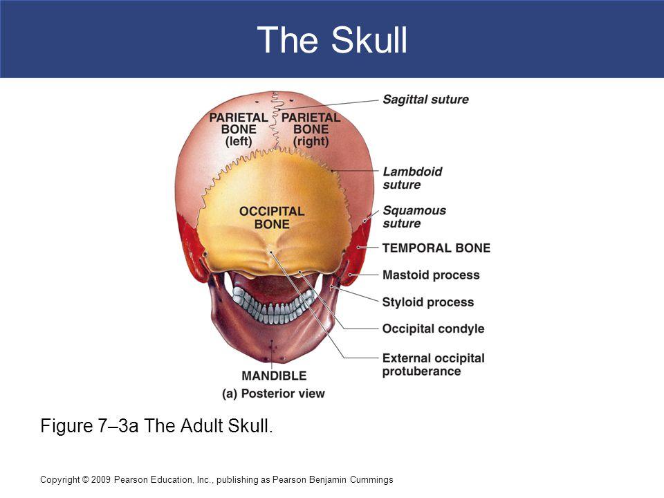 Copyright © 2009 Pearson Education, Inc., publishing as Pearson Benjamin Cummings The Skull Figure 7–3a The Adult Skull.