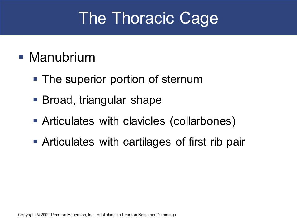 Copyright © 2009 Pearson Education, Inc., publishing as Pearson Benjamin Cummings The Thoracic Cage  Manubrium  The superior portion of sternum  Br