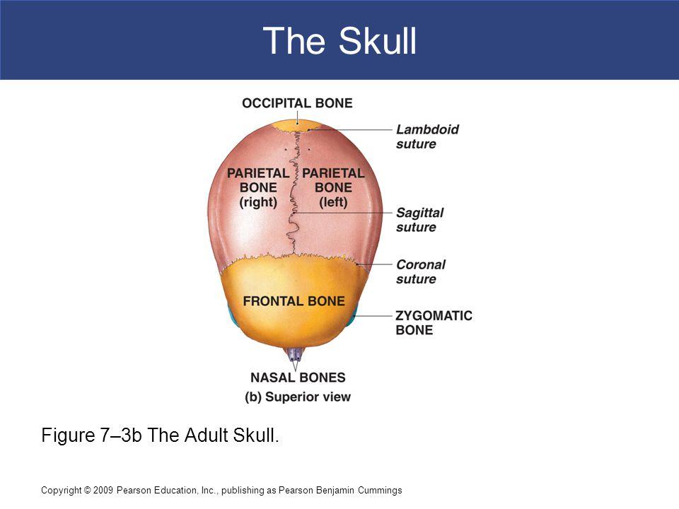 Copyright © 2009 Pearson Education, Inc., publishing as Pearson Benjamin Cummings The Skull Figure 7–3b The Adult Skull.