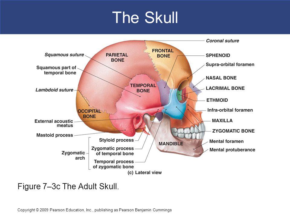 Copyright © 2009 Pearson Education, Inc., publishing as Pearson Benjamin Cummings The Skull Figure 7–3c The Adult Skull.