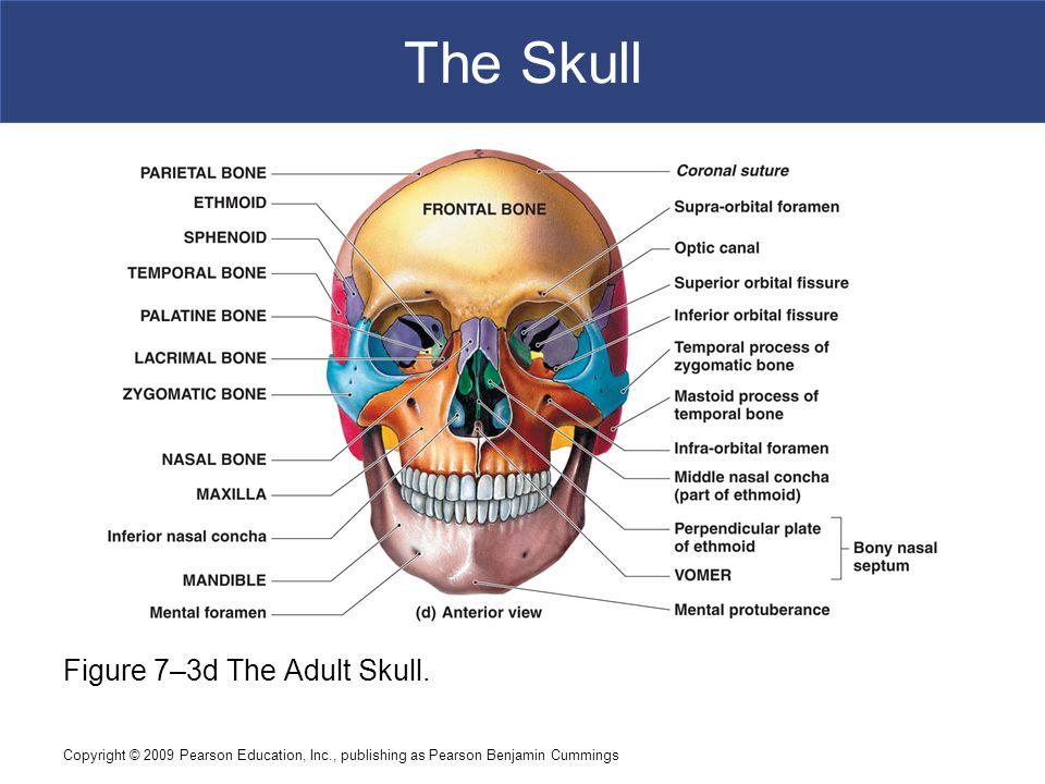 Copyright © 2009 Pearson Education, Inc., publishing as Pearson Benjamin Cummings The Skull Figure 7–3d The Adult Skull.