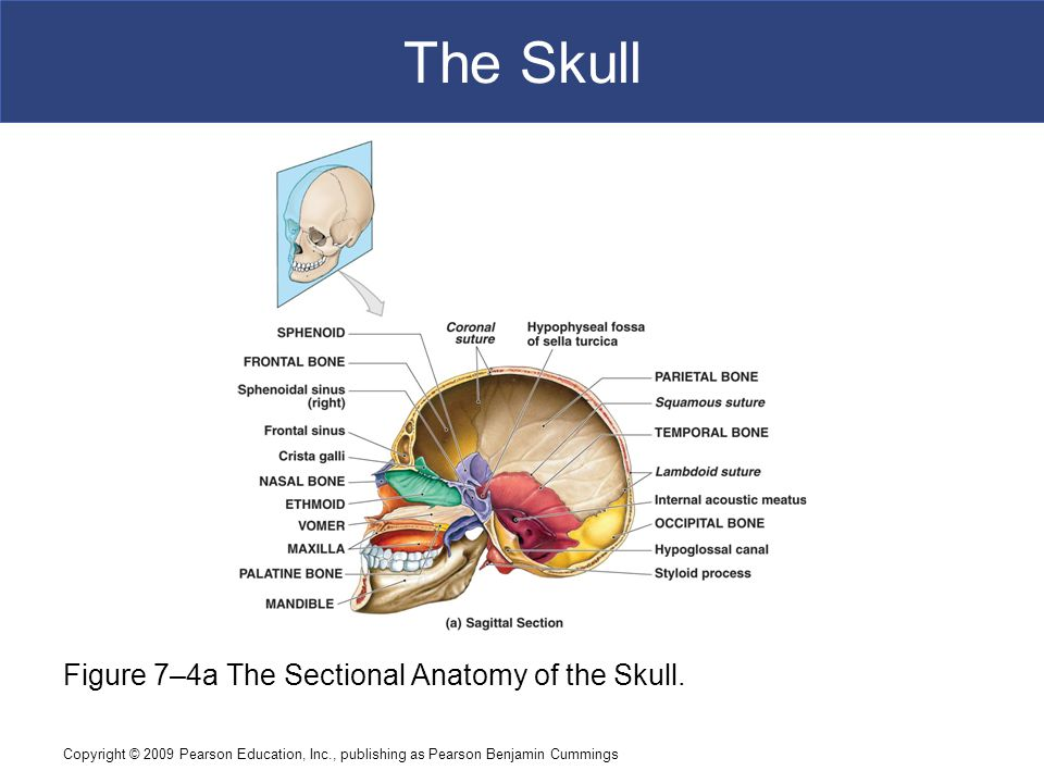 Copyright © 2009 Pearson Education, Inc., publishing as Pearson Benjamin Cummings The Skull Figure 7–4a The Sectional Anatomy of the Skull.