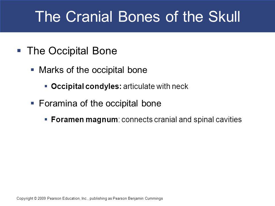 Copyright © 2009 Pearson Education, Inc., publishing as Pearson Benjamin Cummings The Cranial Bones of the Skull  The Occipital Bone  Marks of the o