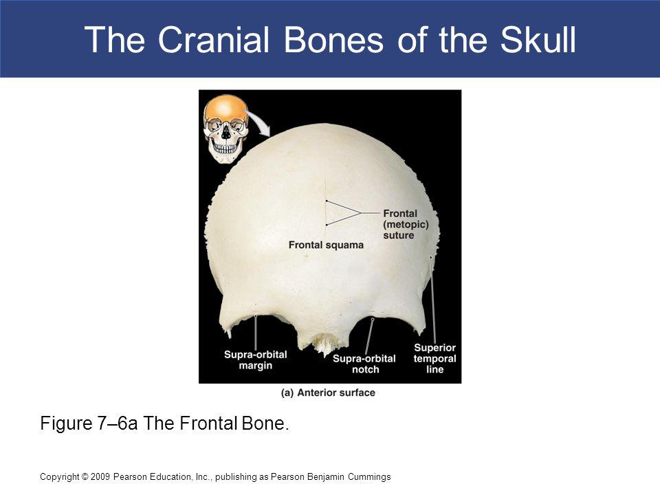 Copyright © 2009 Pearson Education, Inc., publishing as Pearson Benjamin Cummings The Cranial Bones of the Skull Figure 7–6a The Frontal Bone.