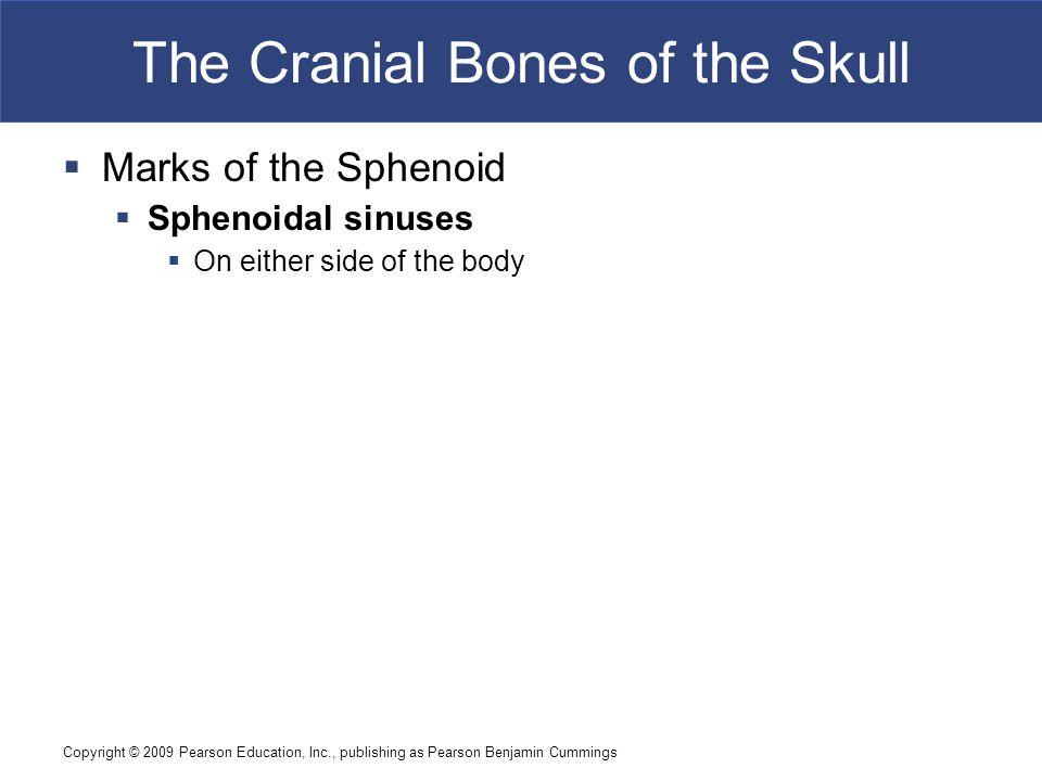 Copyright © 2009 Pearson Education, Inc., publishing as Pearson Benjamin Cummings The Cranial Bones of the Skull  Marks of the Sphenoid  Sphenoidal