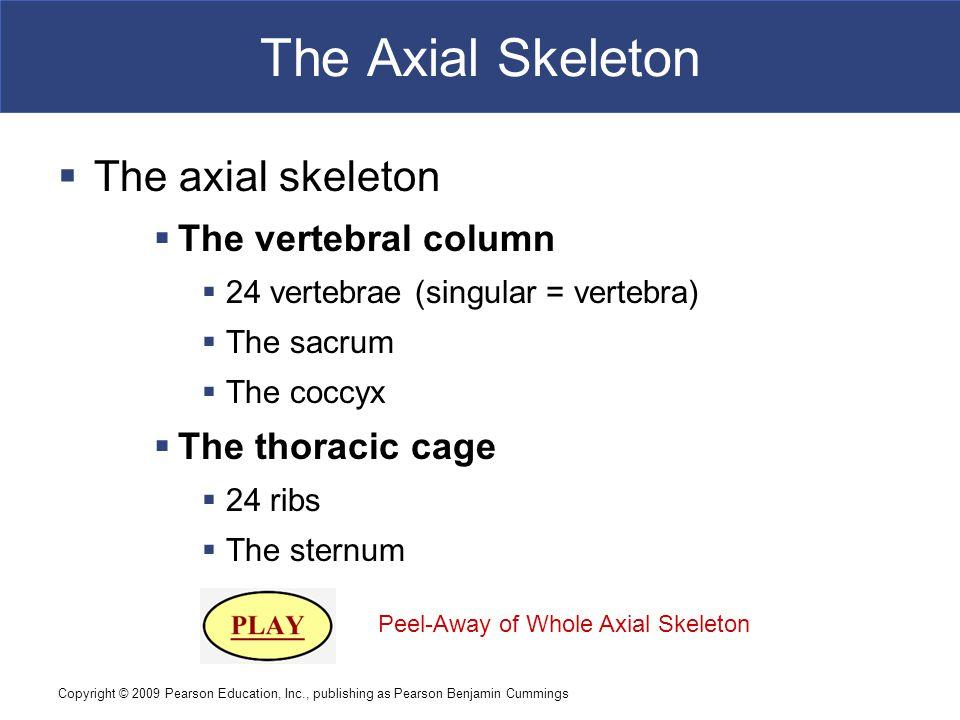 Copyright © 2009 Pearson Education, Inc., publishing as Pearson Benjamin Cummings The Axial Skeleton  The axial skeleton  The vertebral column  24