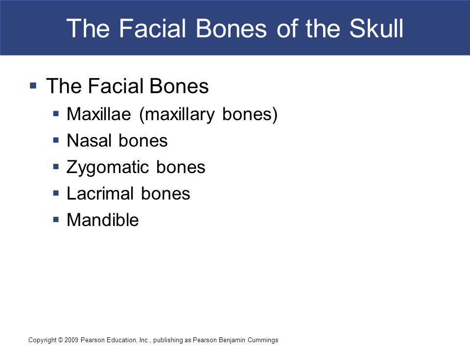 Copyright © 2009 Pearson Education, Inc., publishing as Pearson Benjamin Cummings The Facial Bones of the Skull  The Facial Bones  Maxillae (maxilla