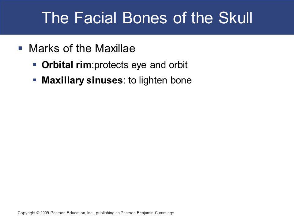Copyright © 2009 Pearson Education, Inc., publishing as Pearson Benjamin Cummings The Facial Bones of the Skull  Marks of the Maxillae  Orbital rim: