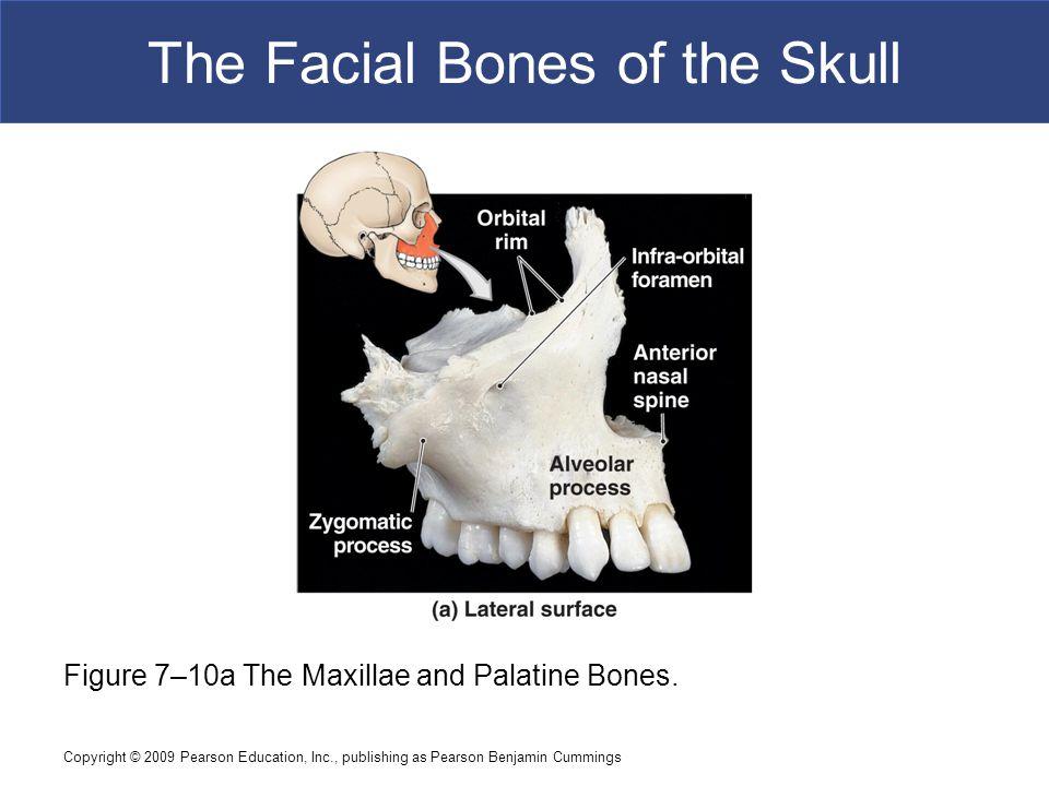 Copyright © 2009 Pearson Education, Inc., publishing as Pearson Benjamin Cummings The Facial Bones of the Skull Figure 7–10a The Maxillae and Palatine