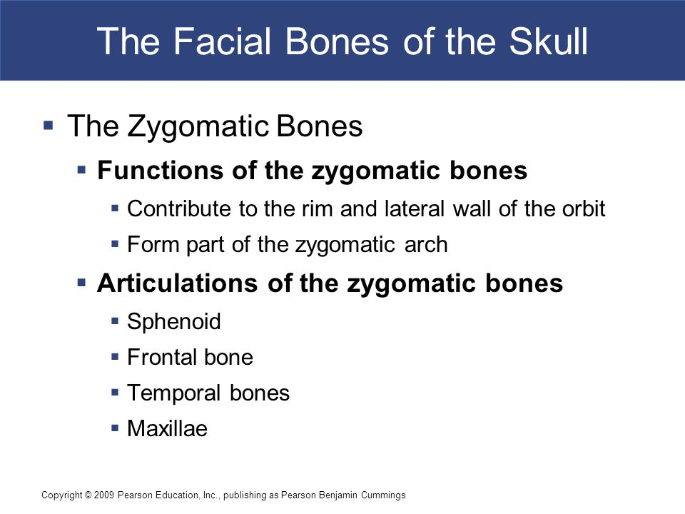 Copyright © 2009 Pearson Education, Inc., publishing as Pearson Benjamin Cummings The Facial Bones of the Skull  The Zygomatic Bones  Functions of t