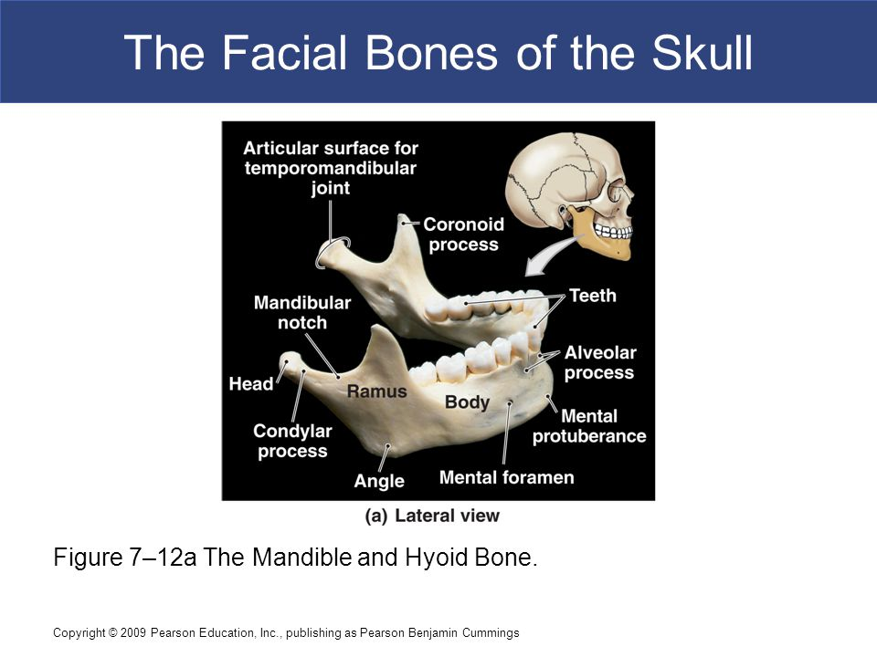 Copyright © 2009 Pearson Education, Inc., publishing as Pearson Benjamin Cummings The Facial Bones of the Skull Figure 7–12a The Mandible and Hyoid Bo
