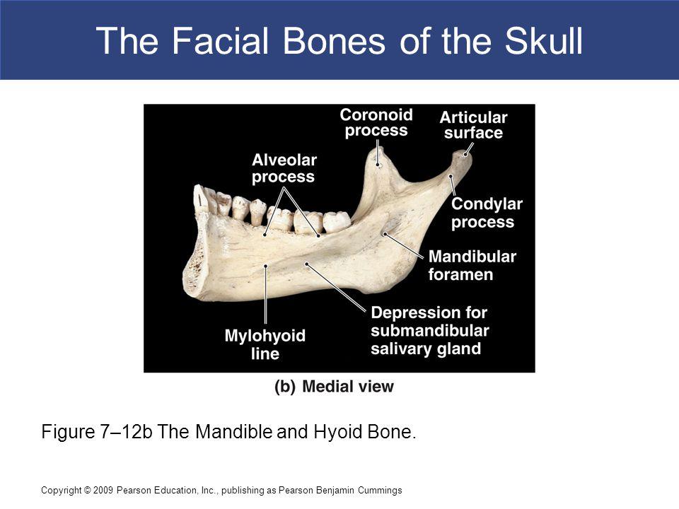 Copyright © 2009 Pearson Education, Inc., publishing as Pearson Benjamin Cummings The Facial Bones of the Skull Figure 7–12b The Mandible and Hyoid Bo