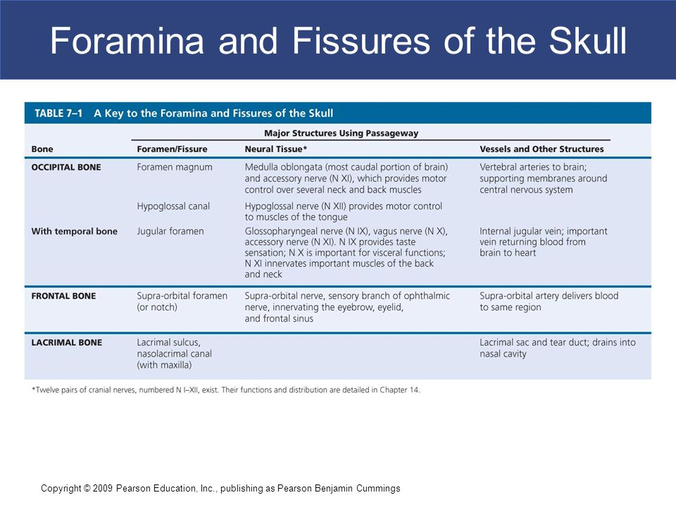 Copyright © 2009 Pearson Education, Inc., publishing as Pearson Benjamin Cummings Foramina and Fissures of the Skull
