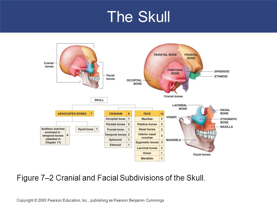 Copyright © 2009 Pearson Education, Inc., publishing as Pearson Benjamin Cummings The Skull Figure 7–2 Cranial and Facial Subdivisions of the Skull.
