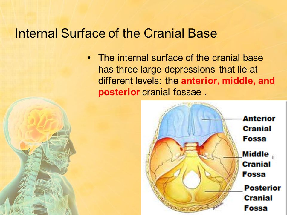 Internal Surface of the Cranial Base The internal surface of the cranial base has three large depressions that lie at different levels: the anterior,