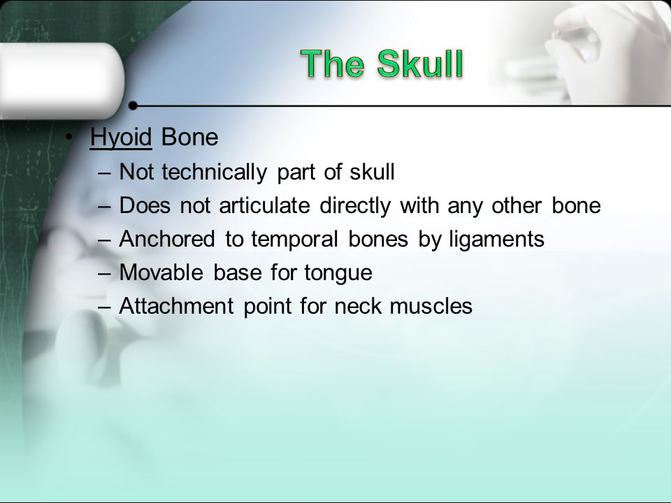 Hyoid Bone –Not technically part of skull –Does not articulate directly with any other bone –Anchored to temporal bones by ligaments –Movable base for tongue –Attachment point for neck muscles