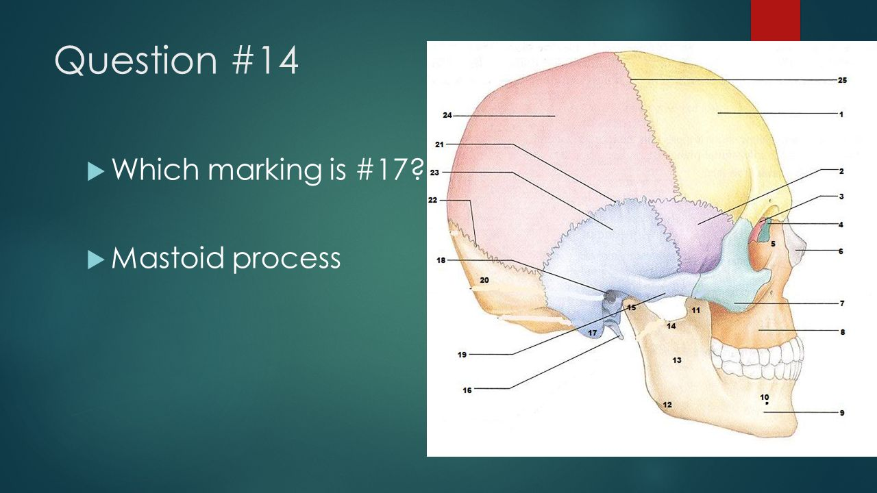 Question #14  Which marking is #17?  Mastoid process