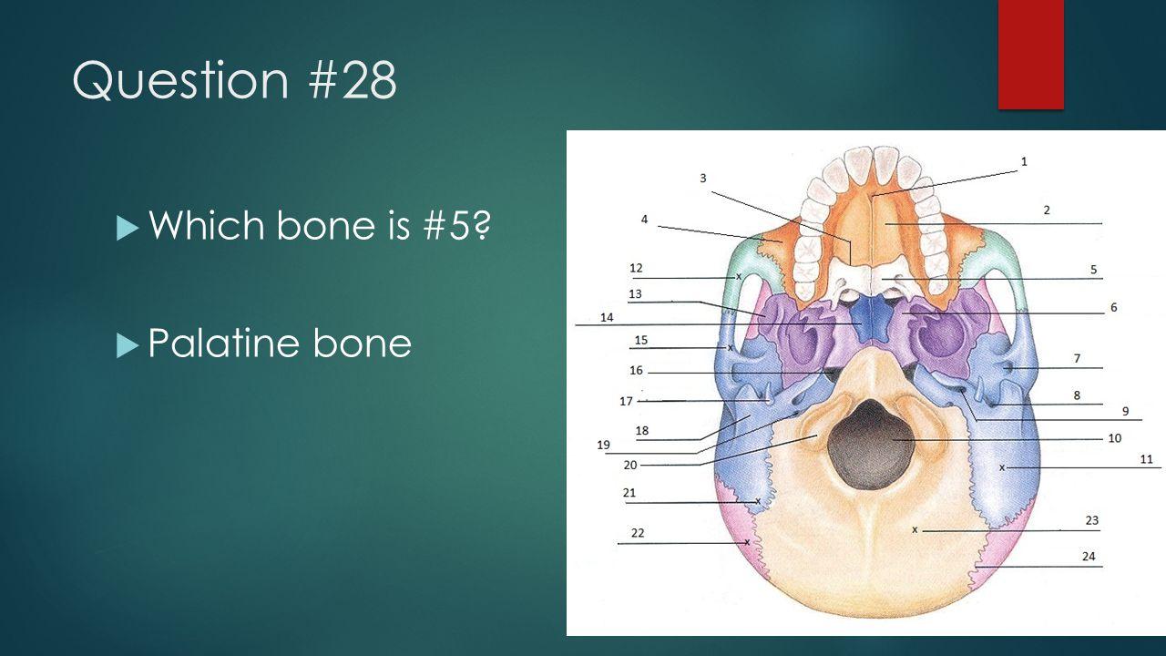 Question #28  Which bone is #5?  Palatine bone