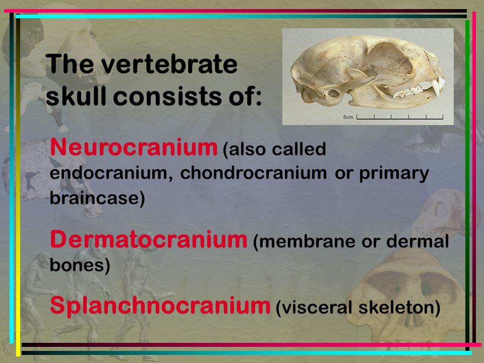 The vertebrate skull consists of: Neurocranium (also called endocranium, chondrocranium or primary braincase) Dermatocranium (membrane or dermal bones