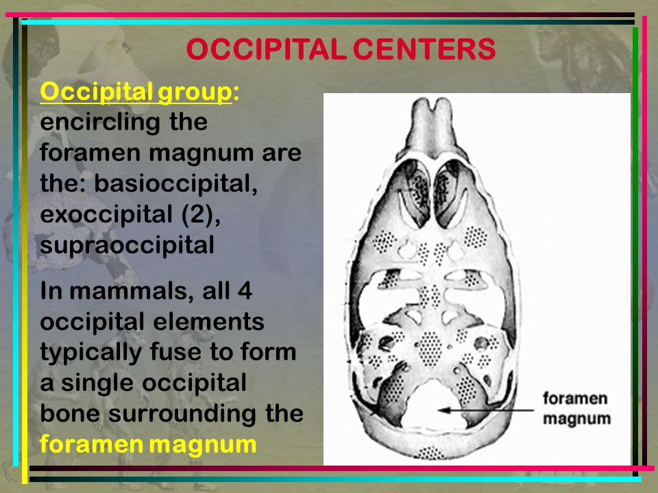 Occipital group: encircling the foramen magnum are the: basioccipital, exoccipital (2), supraoccipital In mammals, all 4 occipital elements typically fuse to form a single occipital bone surrounding the foramen magnum OCCIPITAL CENTERS