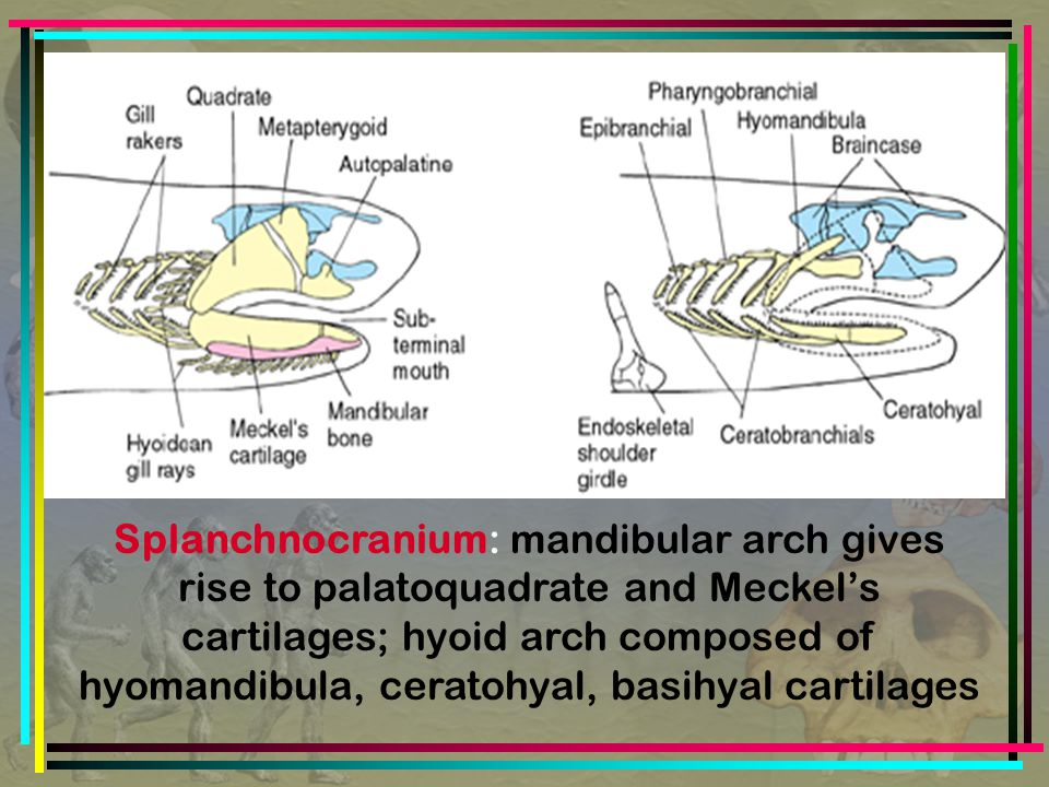 Splanchnocranium: mandibular arch gives rise to palatoquadrate and Meckel's cartilages; hyoid arch composed of hyomandibula, ceratohyal, basihyal cartilages