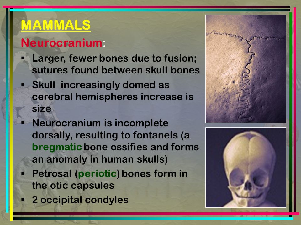 MAMMALS Neurocranium:  Larger, fewer bones due to fusion; sutures found between skull bones  Skull increasingly domed as cerebral hemispheres increase is size  Neurocranium is incomplete dorsally, resulting to fontanels (a bregmatic bone ossifies and forms an anomaly in human skulls)  Petrosal (periotic) bones form in the otic capsules  2 occipital condyles